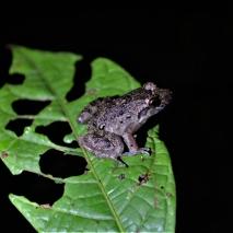 Dirt Frog