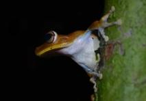 Gladiator Tree-Frog