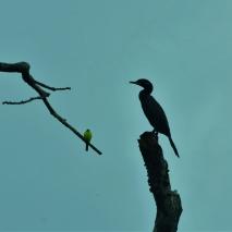 Kiskadee and Cormorant