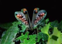 Leaf-mimiking Katydid displaying