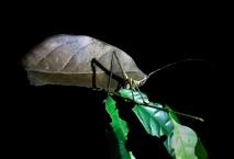 Leaf-mimiking Katydid