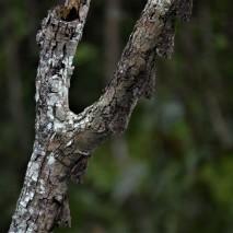 Long-nosed Bats