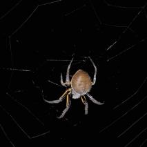 Masked Orweb Spider