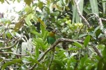 Orange-chicked Parrot