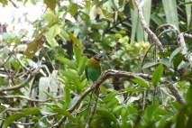 Orange-chicked Parrot