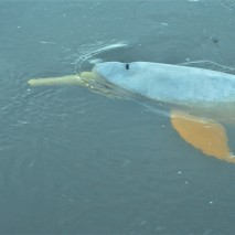 Pink River Dolphin 7