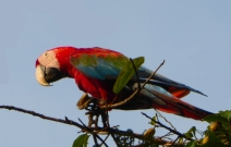 Red and Green Macaw 1