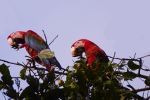 Red and Green Macaws 1