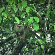 Squirrel Monkey 3