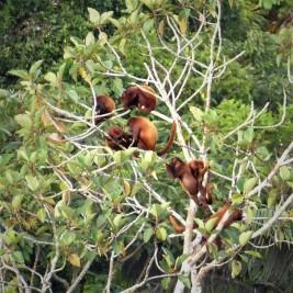 Group of Red Howler Monkeys