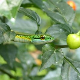 Leptophis Ahaetulla - Parrot Snake