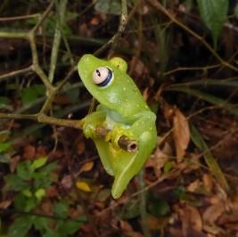 Santa Cecilia Cochran frog